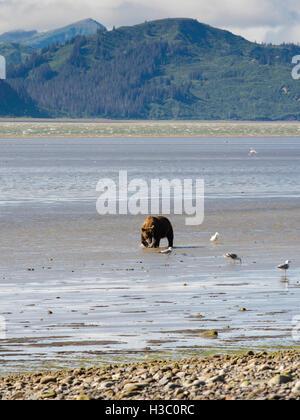 An Alaska coastal brown bear digs for clams in the tidal flat of Chinitna Bay, Lake Clark National Park, Alaska. - Stock Photo