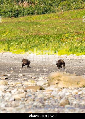 A pair of Alaska coastal brown bears run down the shore of Chinitna Bay, Lake Clark National Park, Alaska. - Stock Photo