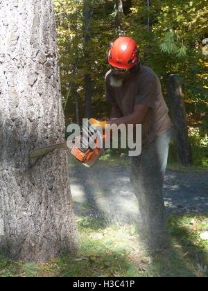 Lumberjack cutting down pine tree with Husqvarna chain saw - Stock Photo