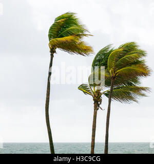 Tops of palm trees at ocean boulevard in tropical storm in Fort Lauderdale, Broward County, Florida, USA - Stock Photo