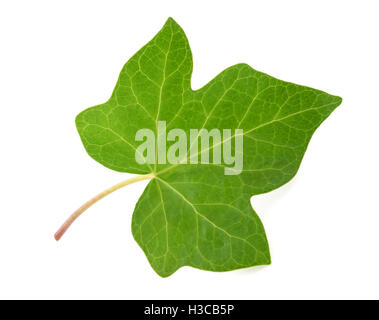 Ivy leaf isolated  on white background - Stock Photo