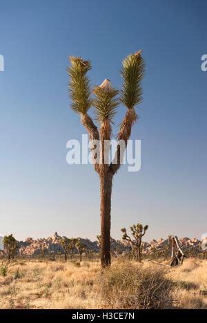 how to grow a joshua tree