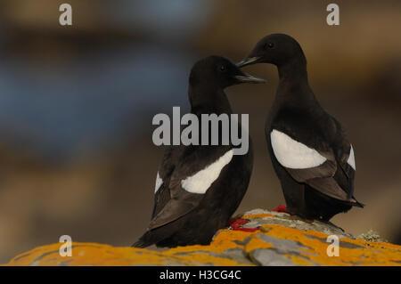 Black Guillemot (Cepphus grylle) pair perched on cliff edge, Shetland Isles, June - Stock Photo