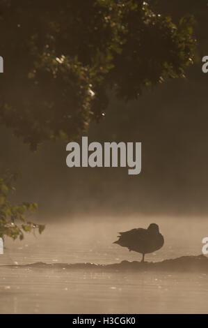 Mallard Anas platyrhynchos perched in early morning mist, Essex, September - Stock Photo