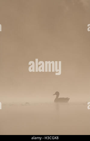 Mallard Anas platyrhynchos in early morning mist on a serene lake, Essex, September - Stock Photo