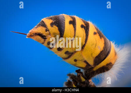 Extreme magnification - Wasp body with stinger - Stock Photo