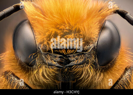 Extreme magnification - Solitaire Bee, Megachilidae - Stock Photo