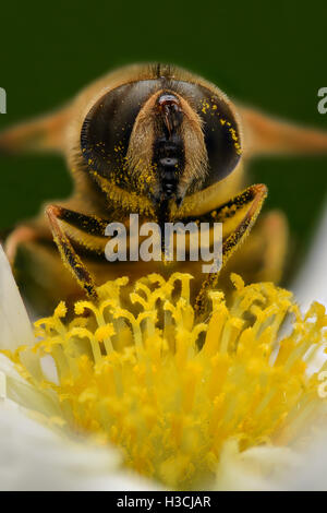 Extreme magnification - Bee pollinating, front view - Stock Photo