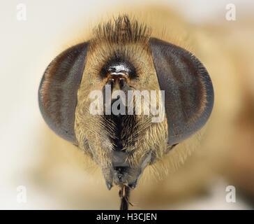 Hover fly macro head shot at 2:1 magnification - Stock Photo