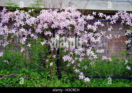 pink clematis flowers climbing on garden gate - Stock Photo