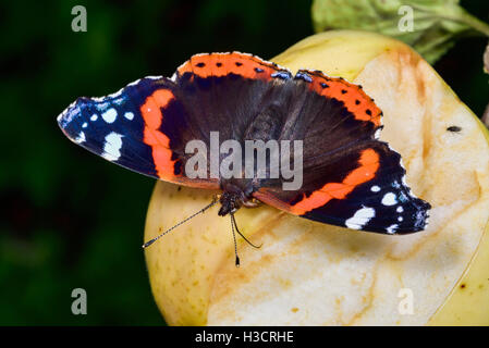 Red Admiral - Stock Photo