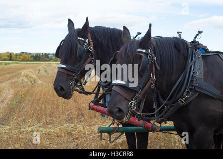 Percheron horse team collecting harvested oat crop - Stock Photo