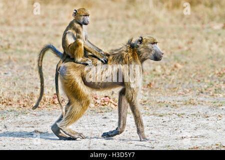 A juvenile Savanna baboon riding in the jockey position on its mother's back, Mosi-oa-Tunya National Park, Zambia - Stock Photo