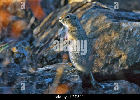 Arctic ground squirrel or parka, stands on a pile of rocks high in the tundra scrub prior to hibernation, Alaska, - Stock Photo