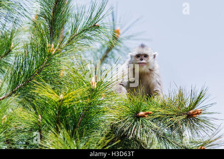 A young Black snub-nosed monkey sitting on the branches of a conifer tree in a Himalayan forest, Yunnan, China - Stock Photo