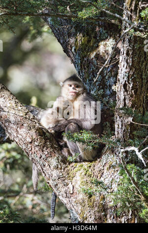A female Black snub-nosed monkey suckles her infant in the boughs of a conifer tree in a Himalayan forest, Yunnan, - Stock Photo