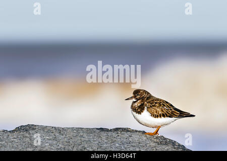 A turnstone in winter plumage rests on a rock on a Norfolk beach along the North Sea Coast, England - Stock Photo