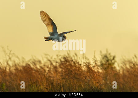 A barn owl in flight as it hunts by day, Norfolk, England - Stock Photo