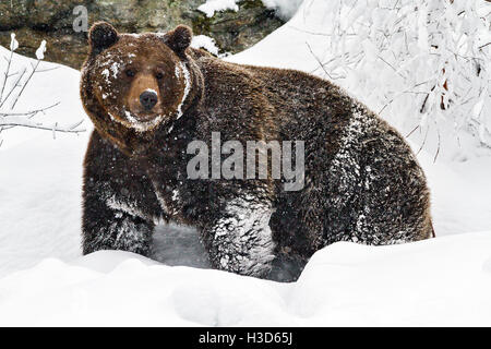 A captive Brown bear (Ursus arctos) covered in snow, Bavarian Forest, Germany - Stock Photo