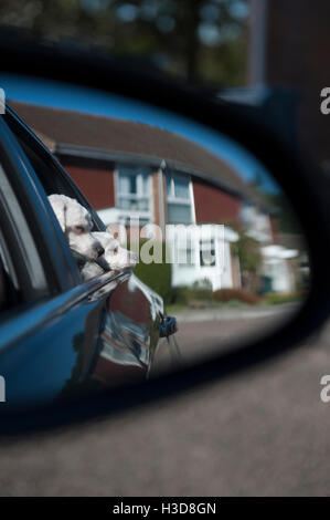 Taking the dogs in the car and taking a picture through the rear view mirror of the small dogs looking out - Stock Photo