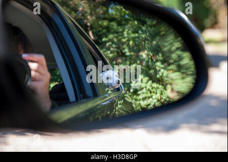 Taking the dogs in the car and taking a picture through the rear view mirror of the small dog looking out - Stock Photo