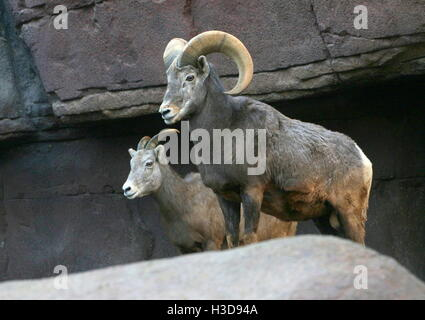 Male and female North American Bighorn sheep (Ovis canadensis) - Stock Photo