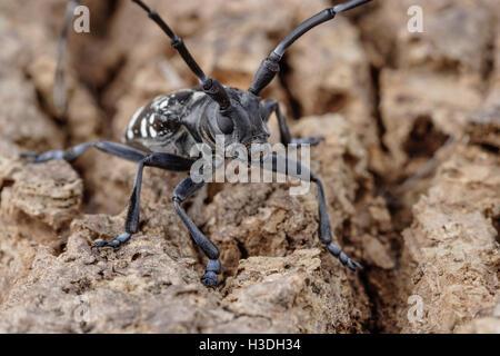 Asian longhorn beetle pic