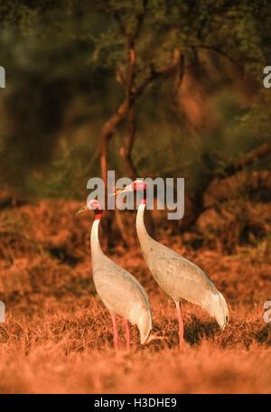 A breeding pair of Sarus Crane,(Grus antigone), at sunset in Keoladeo Ghana National Park, India, - Stock Photo