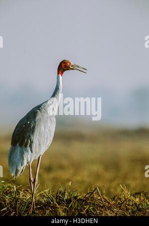 Sarus Crane,(Grus antigone), calling or trumpeting, Keoladeo Ghana National Park, Bharatpur, India - Stock Photo