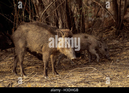Indian Wild Boar, (Sus scrofa cristatus), sow with piglet, Keoladeo Ghana National Park,Rajasthan, India - Stock Photo