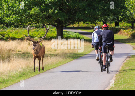 Richmond Park, London, UK, 6th October 2016. A red deer stag with fern on his antlers, proudly trots past two cyclists - Stock Photo