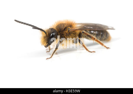 A male Andrena haemorrhoa Mining Bee on a white background. - Stock Photo