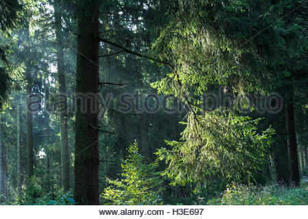 Forest Germany, National Park Harz., woodland landscape trees, green forest sunlight peacefulness conifer forest - Stock Photo