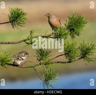 European Chaffinches - Stock Photo