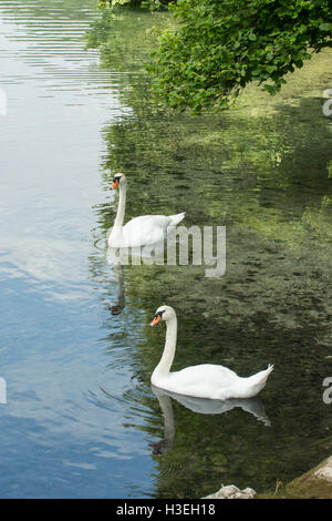 Pair of Mute Swans, Cygnus olor, at Alpsee, Hohenschwangau, Bavaria, Germany - Stock Photo