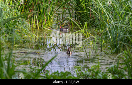Rushes growing in a shallow pond with ducks swimming. - Stock Photo