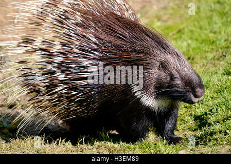 Closeup Indian Crested Porcupine (Hystrix indica) on grass - Stock Photo