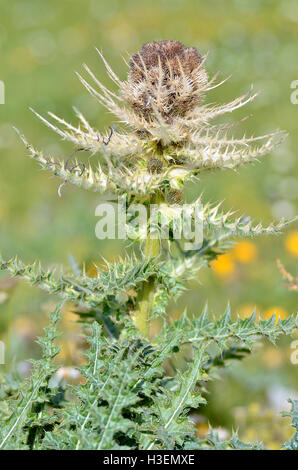Single Spiniest Thistle flower (Cirsium spinosissimum) in the french Alps - Stock Photo