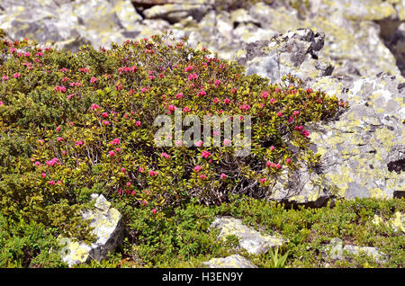 Alpenrose flower (Rhododendron ferrugineum) near from La Plagne in France. - Stock Photo