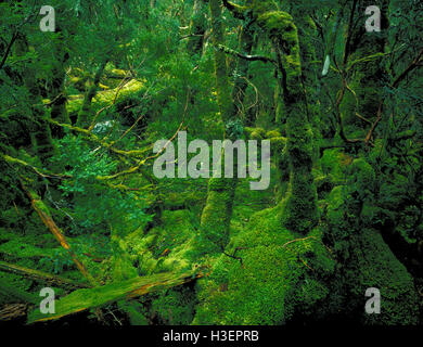 Myrtle beech (Nothofagus cunninghamii), in temperate rainforest. - Stock Photo