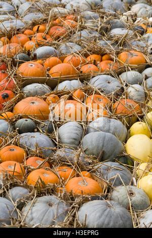 Cucurbita, Assorted Pumpkins and straw - Stock Photo