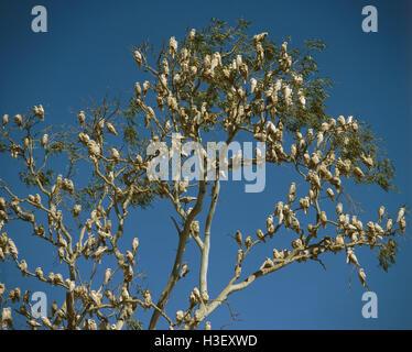 Little corella (Cacatua sanguinea) - Stock Photo