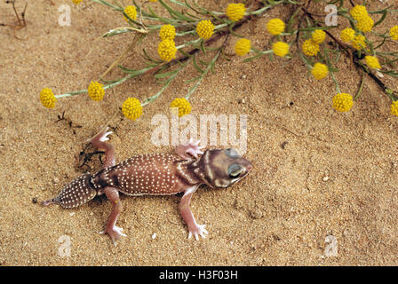 Smooth knob-tailed gecko (Nephrurus levis occidentalis) - Stock Photo