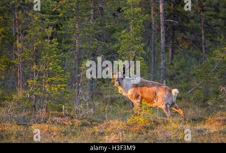 Reindeer with big antler in a forest in nice warm evening light looking in to the camera, Stora sjöfallets national - Stock Photo