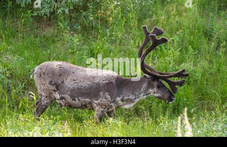 Reindeer with big antler walking in grass , Gällivare, Swedish Lapland, Sweden - Stock Photo