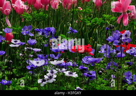 Purple, red and white anemones and pink tulips blooming in a garden in springtime at Shanghai flower port in china. - Stock Photo