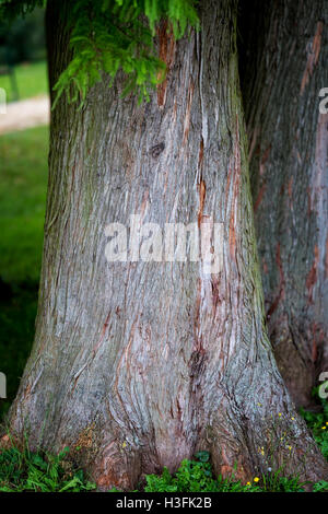 Detail of trunk tree Bald Cypress (Taxodium distichum), Nature background. - Stock Photo