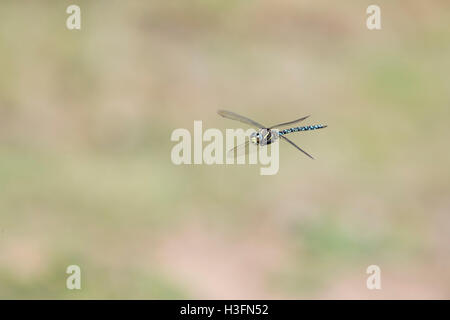 Common Hawker Dragonfly; Aeshna juncea Single Male in Flight Cornwall; UK - Stock Photo