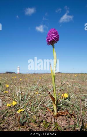 Pyramidal Orchid; Anacamptis pyramidalis; Hodbarrow; UK - Stock Photo