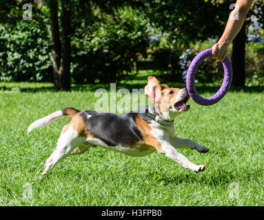 Beagle dog and owner playing with pull toy at park - Stock Photo